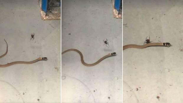 ¡Impresionante! Araña captura y mata a una serpiente venenosa