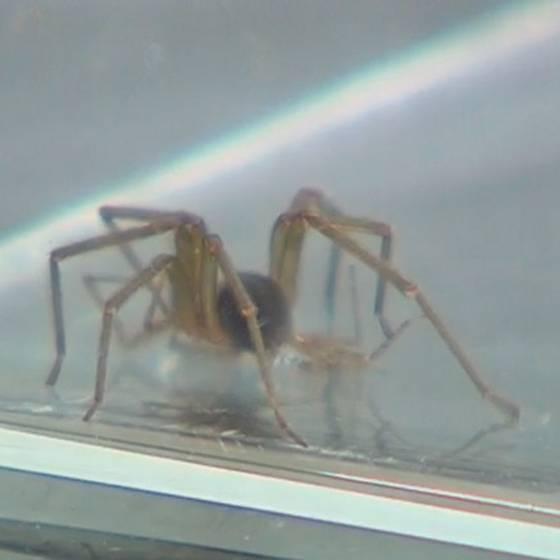 ¿Cómo identificar a una araña de rincón?