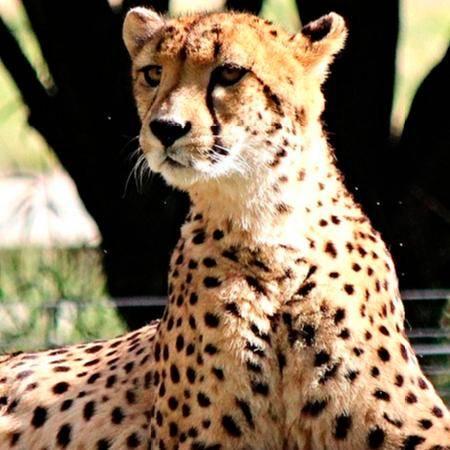 El guepardo es el corredor más rápido del mundo
