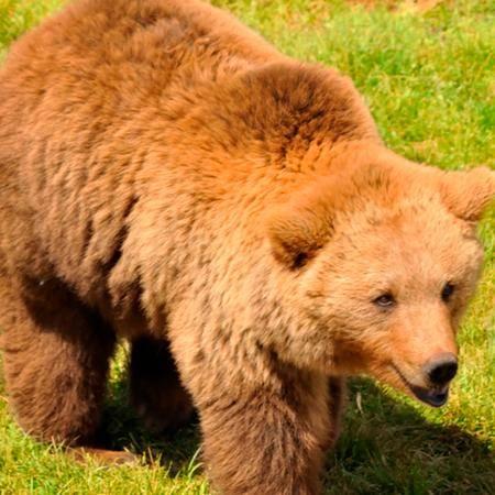 Los osos pardos son omnívoros