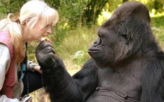 Murió Koko: La gorila capaz de comunicarse por lenguaje de señas