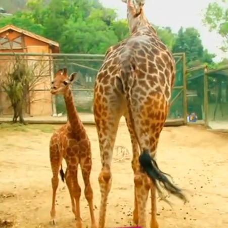 Conoce a la jirafa más joven del zoológico