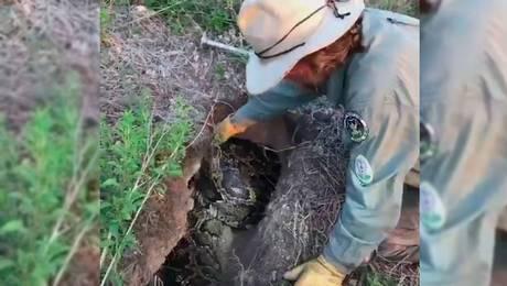 ¡Impresionante! Graban la captura de una enorme pitón de birmania